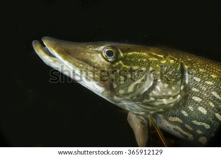 Esox lucius - pike fish