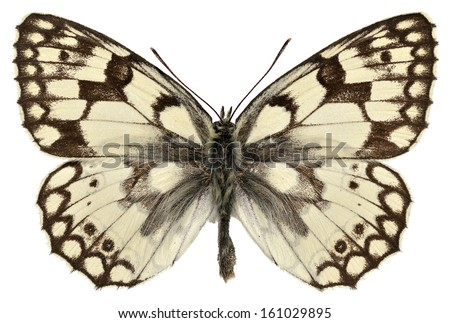 Esper's Marbled White butterfly (Melanargia russiae) isolated on white background - stock photo