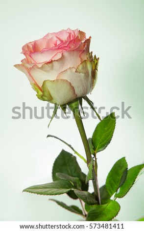 esperance by rosaprima pink green roses bicolor stock photo edit