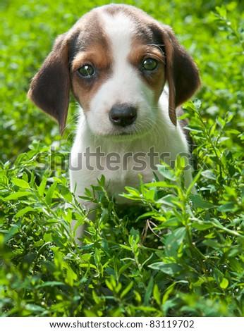 Estonian Hound puppy - stock photo