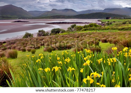 estuary at Dingle peninsula flowers in front clouds and hills in the back green landscape Ireland
