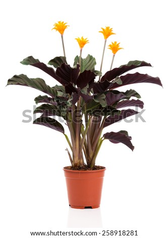 Eternal flame flower (calathea crocata orange) in  flowerpot on white background. Calathea crocata is a perennial. - stock photo