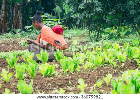 Ethiopian farmer picking lettuce in a orchard in Ethiopia - stock photo