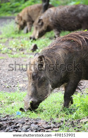 Ethiopian wild boars eating grass.