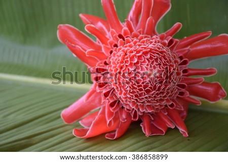 Etlingera elatior flower. - stock photo