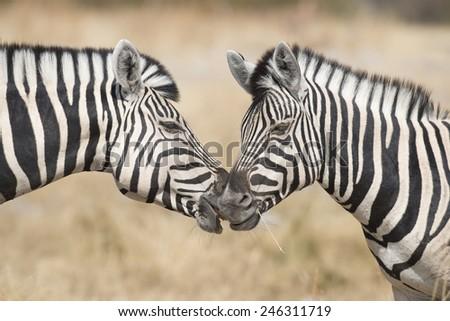 Etosha National Park Namibia, Africa two zebra . - stock photo