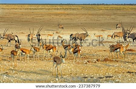 Etosha scene with Oryx, zebra & Springbok - stock photo