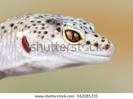 eublepharis macularius - stock photo