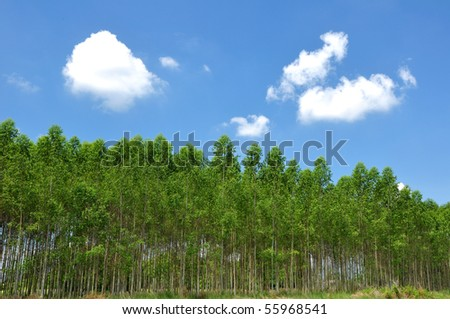 Eucalyptus. - stock photo