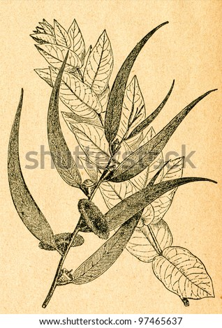 Eucalyptus branches, from young and old tree - old illustration by unknown artist from Botanika Szkolna na Klasy Nizsze, author Jozef Rostafinski, published by W.L. Anczyc, Krakow and Warsaw, 1911 - stock photo