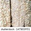 Eucalyptus deglupta tree bark texture - stock photo