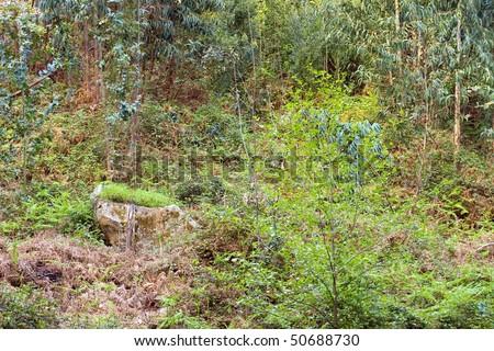 Eucalyptus Forest - stock photo