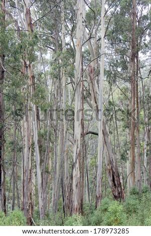 Eucalyptus Forest High Country, Victoria, Australia 1 - stock photo