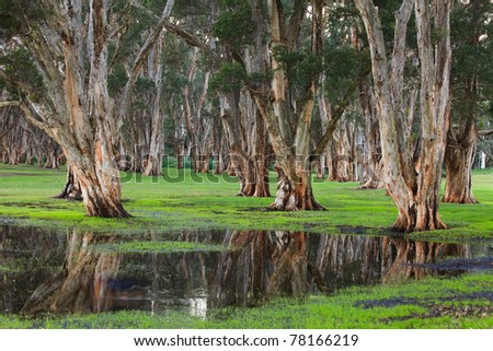 eucalyptus forest trees deep trunks spit reflection in the water puddle - stock photo