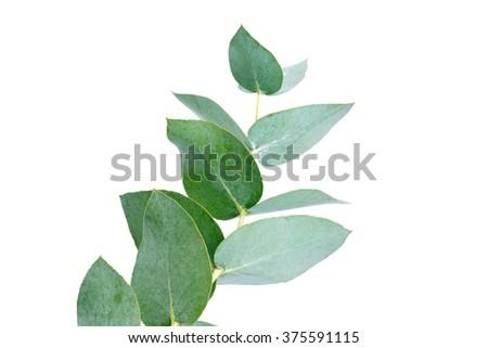 eucalyptus isolated on white - stock photo