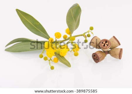 Eucalyptus leaves, flowers and fruit