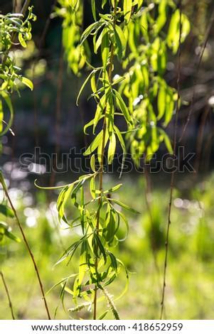 Eucalyptus leaves. Twig of tree. - stock photo