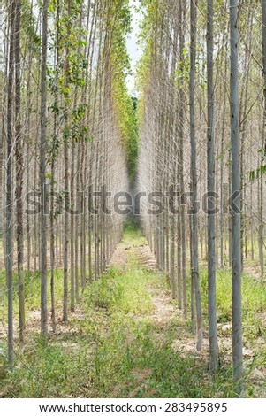 eucalyptus plant field - stock photo
