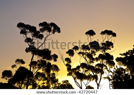 Eucalyptus silhouette in front of sunset colors - stock photo