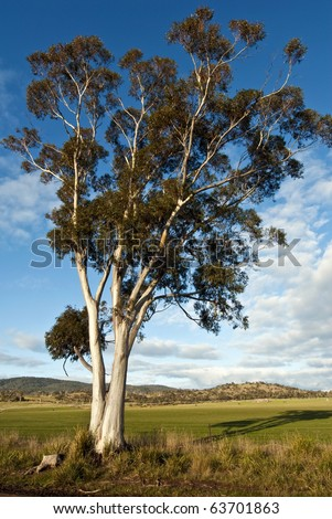 Eucalyptus tree and pasture in beautiful afternoon light, Tasmania, Australia - stock photo