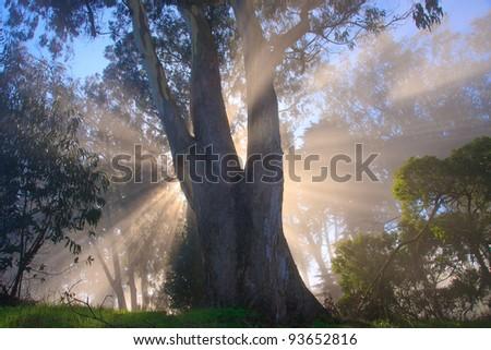 Eucalyptus tree, fog and sun rays - stock photo