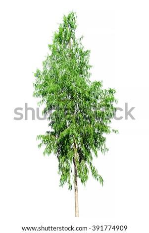 Eucalyptus Tree Isolated on white background - stock photo