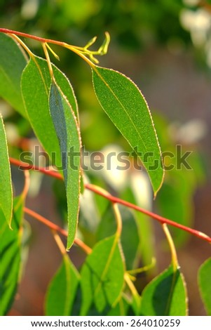 Eucalyptus tree leaves close up - stock photo
