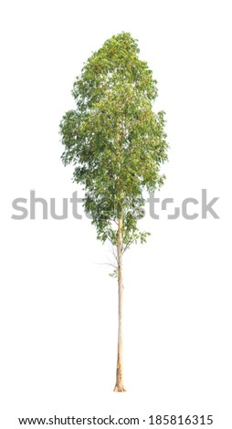 Eucalyptus tree, tropical tree in the northeast of Thailand isolated on white background - stock photo