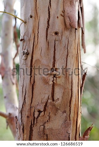 Eucalyptus tree trunk closeup - stock photo