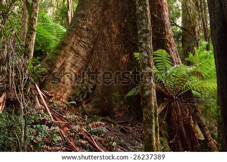 Eucalyptus tree trunk in rain forest, Australia - stock photo