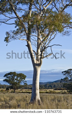 Eucalyptus tree with smooth trunk in late afternoon light. Tasmania, Australia - stock photo