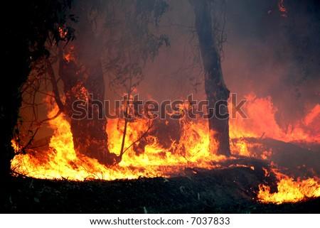 Eucalyptus trees on fire - stock photo