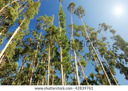 eucalyptus trees on the background of blue sky - stock photo