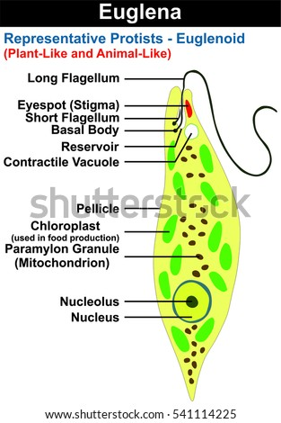 Protist Stock Images, Royalty-Free Images & Vectors | Shutterstock