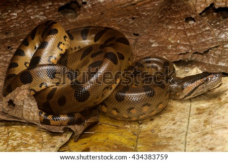 Eunectes is a genus of boas found in tropical South America. They are an aquatic group of snakes and include one of the largest snakes in the world, E. murinus, the green anaconda. - stock photo