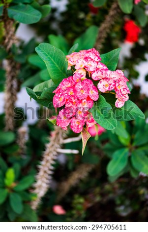 Euphorbia crown of thorns tropical flower - stock photo