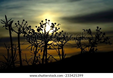 Euphorbia lamarckii at sunrise, Canary islands - stock photo