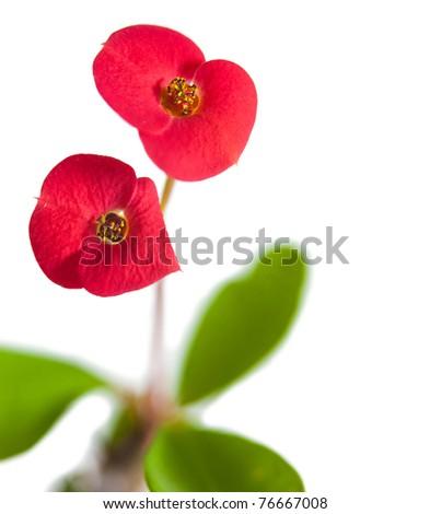 Euphorbia milli isolated on white - stock photo