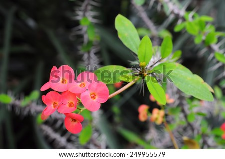 Euphorbia splendens (Crown of Thorns) - stock photo