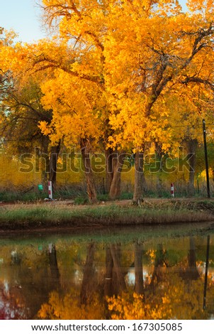 euphratica beside the river, China - stock photo