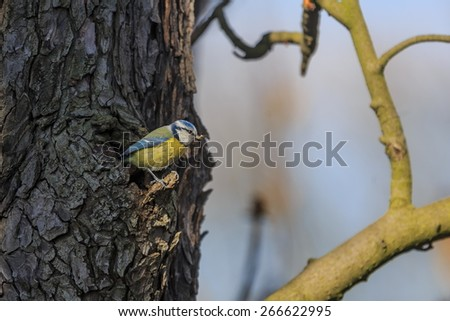 Eurasian blue tit coming out of the hollow tree - stock photo