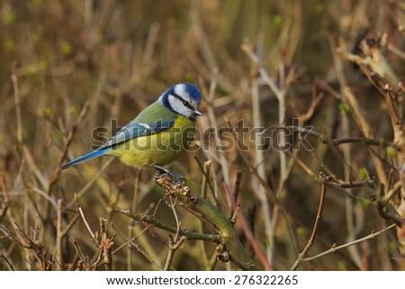 Eurasian blue tit  on the bush - stock photo
