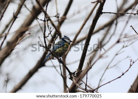 Eurasian Blue Tit sitting on a branch - stock photo