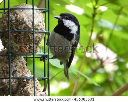 Eurasian Coal Tit Bird at Fat Ball Feeder - Parus ater - stock photo