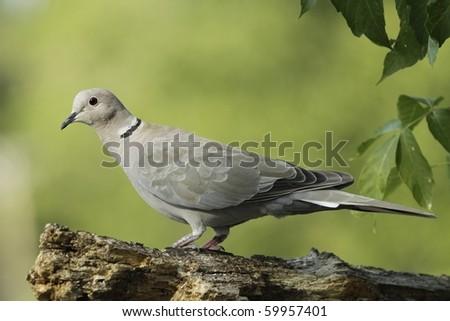 Eurasian Collared Dove - stock photo