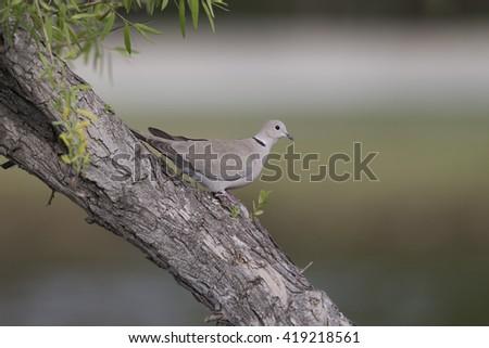 Eurasian Collared Dove on tree - stock photo