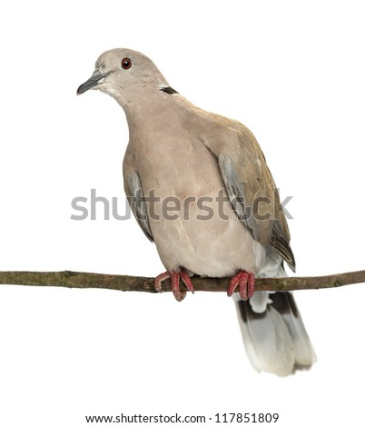 Eurasian Collared Dove perched on branch, Streptopelia decaocto, most often simply called the Collared Dove against white background - stock photo