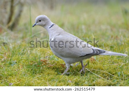 Eurasian collared dove , when looking for food. - stock photo