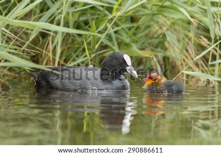 Eurasian coot feeding a juvenile in water - stock photo