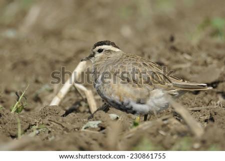 Eurasian Dotterel (Charadrius morinellus) - stock photo